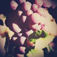gewuztraminer-vinopio-be