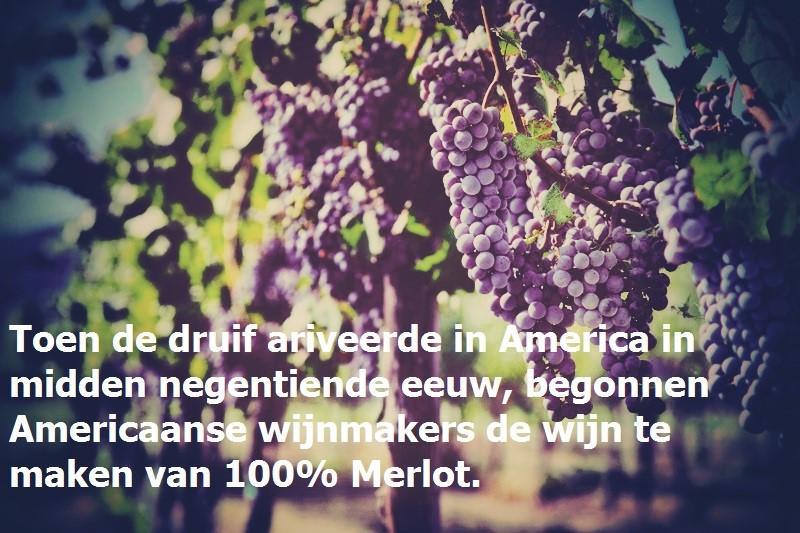 Merlot zwarte vogel van de druif wijn blauwe druiven www.vinopio.be